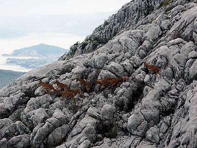 Stado divokoza i Split u pozadini